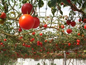 Tomatoes hanging overhead (by sylvar from flickr)